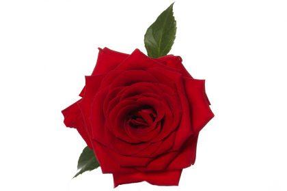 Corazon Rose