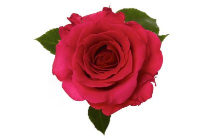 Rio Roses Hot Lady