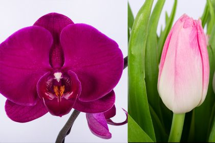 Dark pink phalaenopsis orchid and light pink tulip